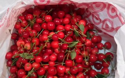 Delicious cherries are ripe!